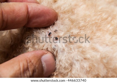 Closeup of mite and fleas infected on dog fur, sucking its blood