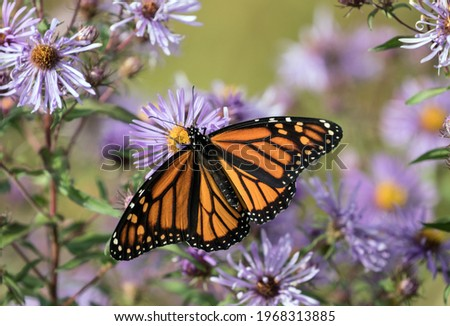 Closeup of Monarch Butterfly feeding on nectar from purple Aster flowers during fall migration,Ontario,Canada, Scientific name is Danaus plexippus. Stock photo ©