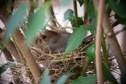 Closeup of mother cardinal sitting on eggs in nest.