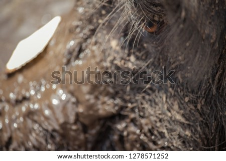 closeup of muddy pig with cracker on snout focused on eye and long lashes