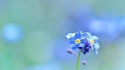 Closeup of Myosotis sylvatica, little blue flowers on a blurred background