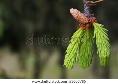 Closeup of new green fir tree needles with cone against blurred background with selective focus