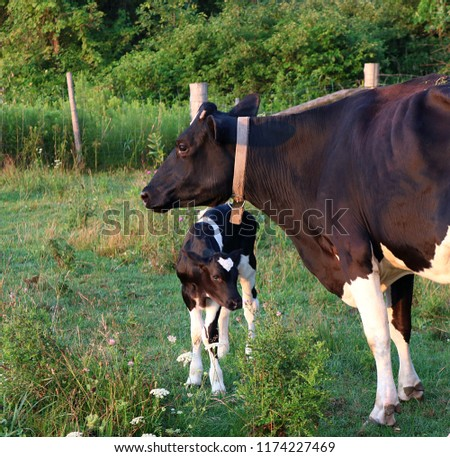 closeup of newborn Holstein bull calf standing with mom in the meadow