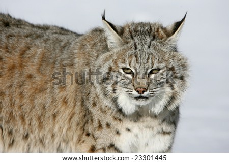 of North American Bobcat