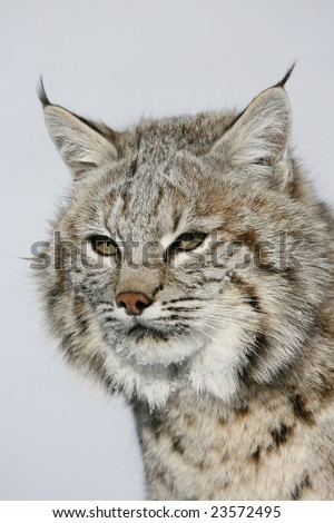 Closeup of North American Bobcat