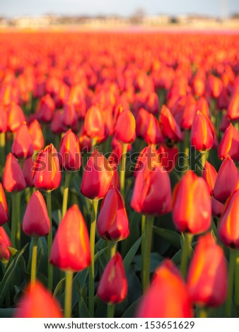 closeup of not yet fully opened  red orange tulips  in a bulb field with urban development on horizon out of focus.