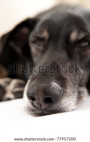 Closeup of Old Black Dog\'s Nose