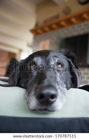 Closeup of Old Black Dog with Gray Muzzle Relaxing at Home
