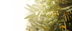 Closeup of olive fruit on tree branch. Olive garden and sunlight background design. Mediterranean old olive trees growing.