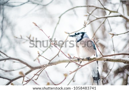 Stock Photo Closeup of one blue jay, Cyanocitta cristata, bird sitting perched on tree branch during heavy winter snow vintage colorful in Virginia, snow flakes falling