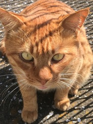Closeup of orange cat with dramatic shadows over face. It is staring intensely into the camera