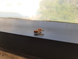 Closeup of Orange Color small dead wasp, kanaja or kadaja insect in a window at the office.