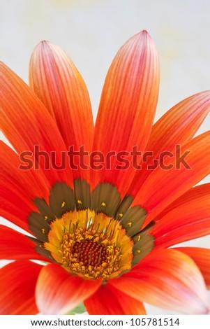 closeup of orange daisy flower showing petals and center stamen detail.
