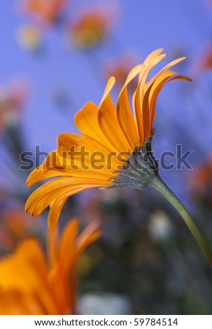 Closeup of orange Namaqualand Daisy from side