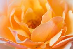 closeup of orange rose petals ,Orange Rose Macro ,Blurred orange peach background of roses ,Sunny rose ,blossom close up