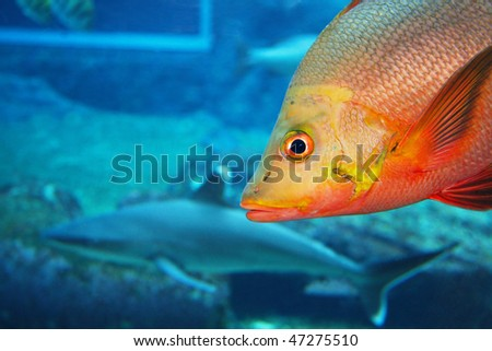 ... sea fish in aquarium tank with shark in background - stock photo