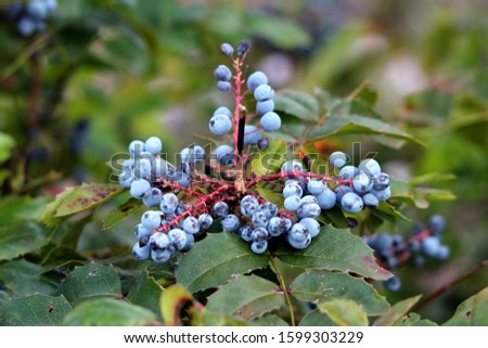 Closeup of Oregon grape or Mahonia aquifolium evergreen shrub flowering plant clusters of dusty blue berries and pinnate leaves made up of spiny leathery leaflets growing in local home garden on warm