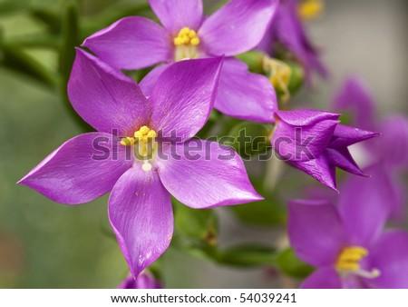 Closeup of Orphium frutescens