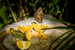 Closeup of Owl butterfly feeding on slices of orange fruits