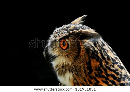 Closeup of Owl on the black background