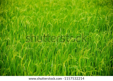 Closeup of paddy rice field Countryside scenery in thailand #1157532214