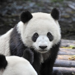Closeup of panda bear