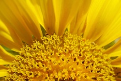 Closeup of Partial Sunflower Disc Florets and Ray Florets