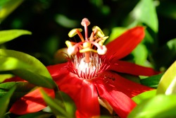 closeup of passiflora vitifolia, the perfumed passion flower, is a species of Passiflora, native to southern Central America and South America. bright red flowers.