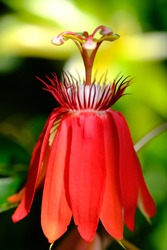 closeup of passiflora vitifolia, the perfumed passion flower, is a species of Passiflora, native to southern Central America and South America. bright red flowers. macro photography.