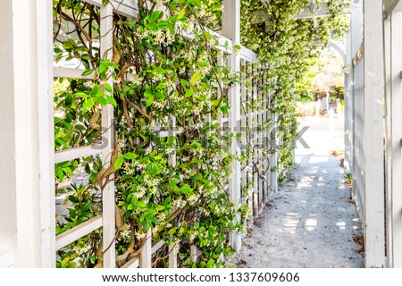 Closeup of patio outdoor spring white clematis flower garden in backyard porch of home and romantic wood with pergola wooden arch path creeping climbing covering vine plants
