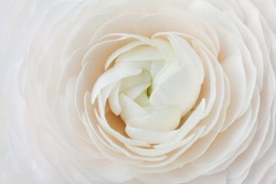 Closeup of peach ranunculus for abstract background, beautiful spring flower, wedding floral pattern, macro, shallow DOF