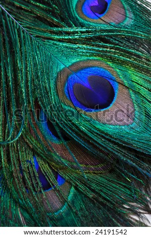 Closeup of Peacock Back Feathers