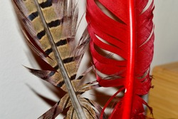 Closeup of Pheasant (Phasianus Colchicus) Feather Quill and Dyed Red Turkey (Meleagris Gallopavo) Feather Quill Showing Detailed Rachis, Vane, and Barbs