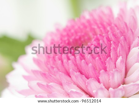 Closeup of pink chrysanthemum flower with water droplets. - stock photo
