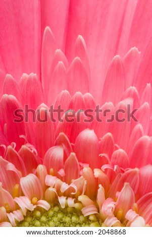 Closeup of pink daisy with water droplets