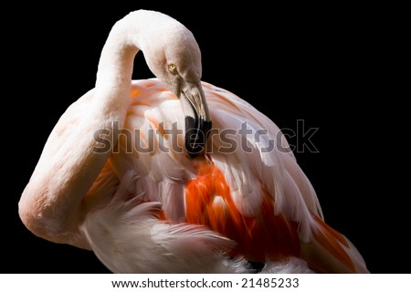 Closeup of pink flamingo isolated on black background with clipping path - stock photo