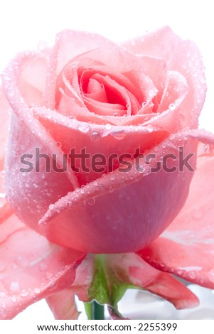 Closeup of pink rose petails covered dew