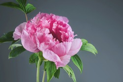 Closeup of pink Sarah Bernhardt peony blossom on neutral background