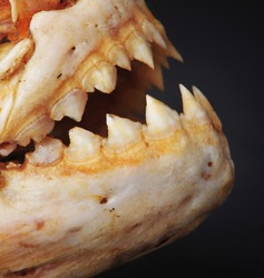 Closeup of Piranhas Teeth. Could Use Some Better Tooth Brushing in the Future.