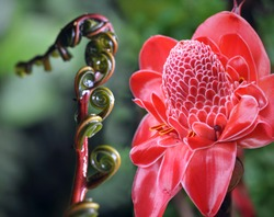 Closeup of Plant from jungle. Torch Ginger, Phaeomeria Magnifica. Amazonia, Ecuador