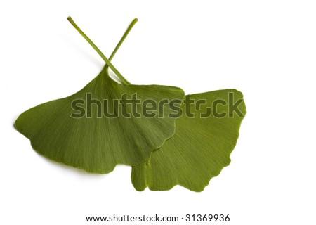 Closeup of plant Ginko Biloba
