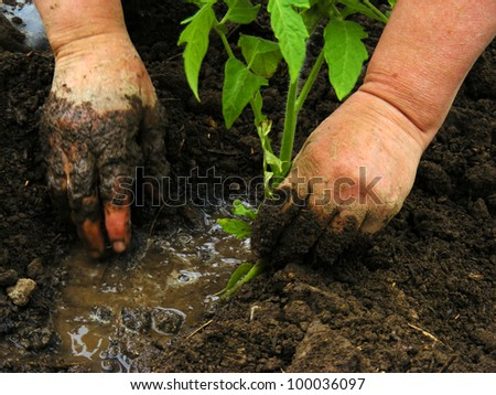 Closeup of planting tomato seedling in ground