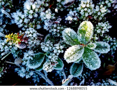 Closeup of Plants in a Meadow Covered with Hoar Frost in the Tundra of Norway in  Winter