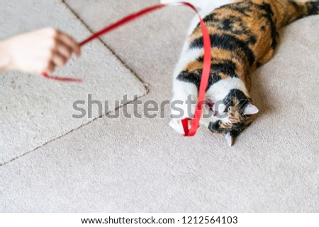 Closeup of playful calico cat, lying on side, playing with red stripe in living room, house, home on carpet floor, biting, catching with paws above, human person hand holding toy