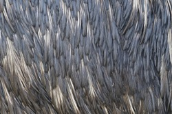 Closeup of plumage feather of emu (Dromaius novaehollandiae). The second-largest living bird. Endemic animal from Australia. Plumage feather pattern. Habitat Australia.