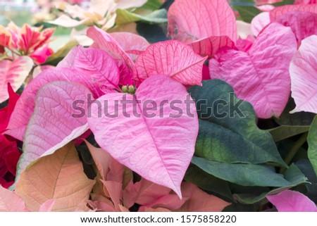 Closeup of poinsettia foliage. Poinsettia (Euphorbia pulcherrima) pink bracts surrounding flowers