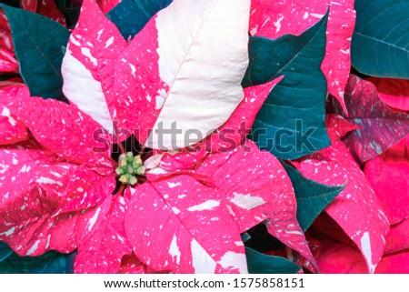 Closeup of poinsettia foliage. Poinsettia (Euphorbia pulcherrima) red and pink bracts surrounding flowers