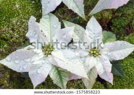 Closeup of poinsettia foliage. Poinsettia (Euphorbia pulcherrima) white  bracts surrounding flowers.  Top vieve.