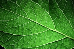 Closeup of portion of green netted veins leaf, reticulate venation of green leave with light.