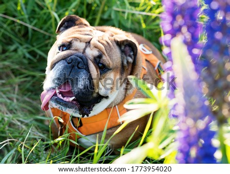 Closeup of portrait of Red English Bulldogs in orange harness out for a walk in the flowers